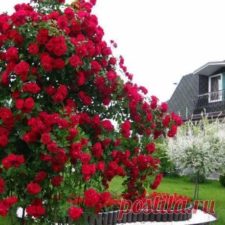 Посадка плетистой розы весной  Плетистые розы, посаженные весной, отстают в развитии по сравнению с розами, посаженными осенью, на две недели и требуют к себе больше внимания.