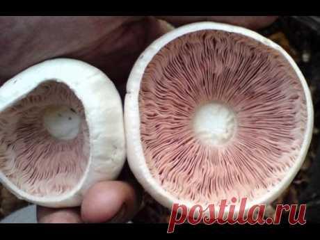 Как снять и получить споры грибов Шампиньона для получения Мицелия. Споровая взвесь Шампиньона