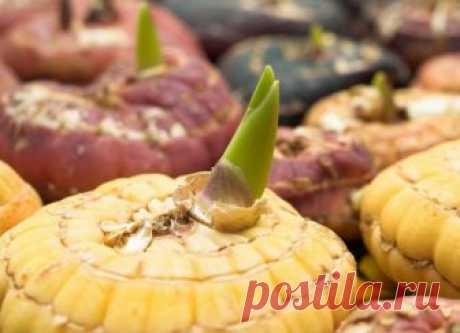Выращивание гладиолусов: отбор, обработка, проращивание луковиц, правила посадки, особенности ухода и оптимальные условия, возможные проблемы