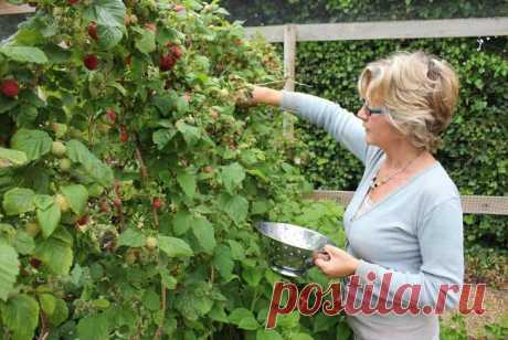 Cорта ремонтантной малины Инновацией в области селекции является высадка ремонтантной малины. Она популярна вот уже несколько десятков лет. Но до сих пор среди садоводов ведутся постоянные споры о способе выращивания. Уход за ...