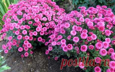 Садовые хризантемы – виды, особенности ухода, зимовка