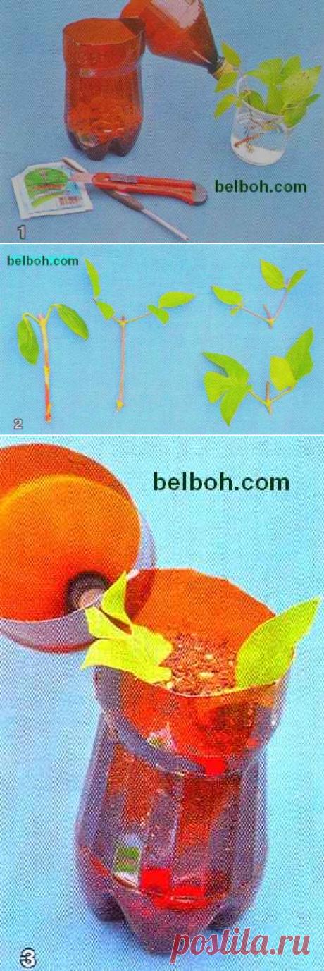 Клематисы-размножение в пластиковых бутылках