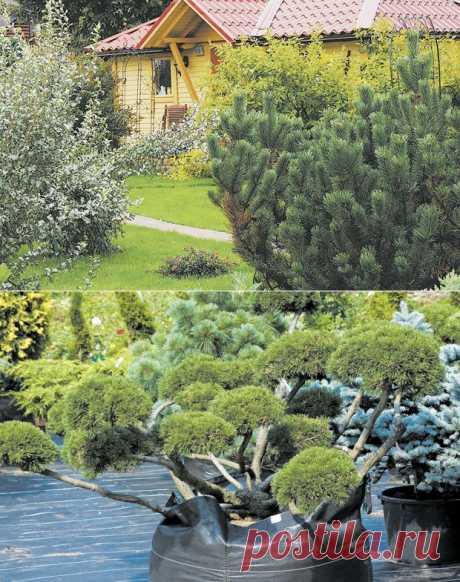 Как создать красивые композиции из хвойных растений | 6 соток