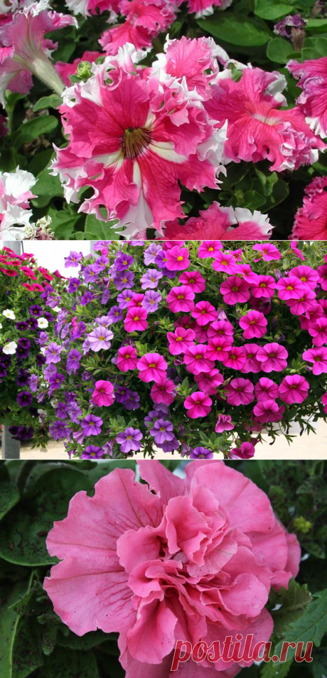 Petunias: classification of grades and hybrids. Photo