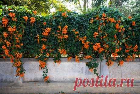 Девять лучших быстрорастущих вьющихся цветов для забора, арок и шпалер на даче Лианы – очень красивые растения, которые выполняют сразу несколько функций в ландшафтном дизайне. Предлагаем вам обзор самых интересных вьющихся растений для создания «зеленых стен».  Вьющиеся растения в саду очень многофункциональны. Они могут не только стать ключевыми элементами сада, но и прикр