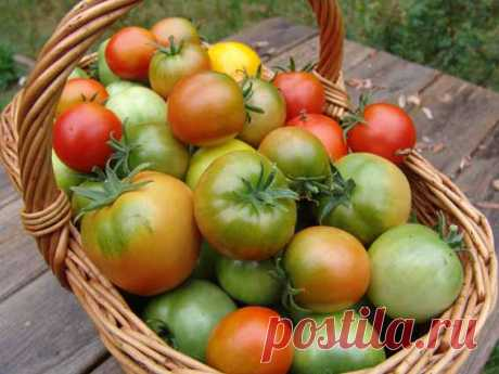 Спасаем урожай помидоров — Огород без хлопот