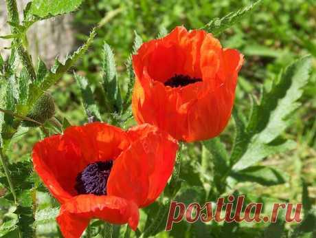 Poppies Photograph by Jackie Mueller-Jones