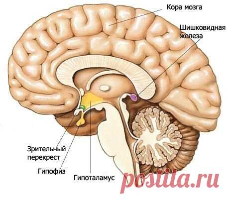 Гипоталамус: гормоны головного мозга и их значение