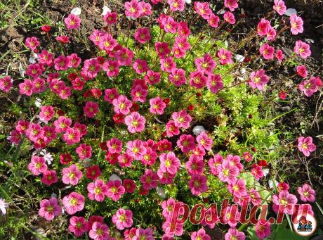Увидела у соседки прекрасный цветок, который выращивают в камнях. Теперь решила посадить его у себя на участке. Делюсь опытом   Цветущий сад   Яндекс Дзен