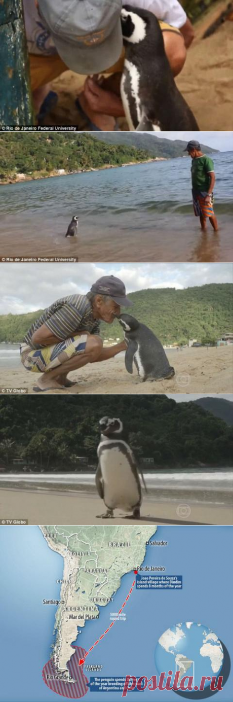 Пингвин проплывает 8 тысяч километров, чтобы встретиться со своим спасителем | Prikolisti.com