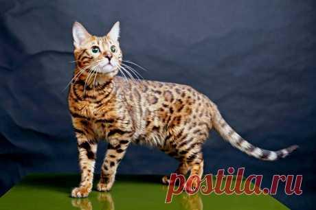 Бенгальский кот - маленький леопард