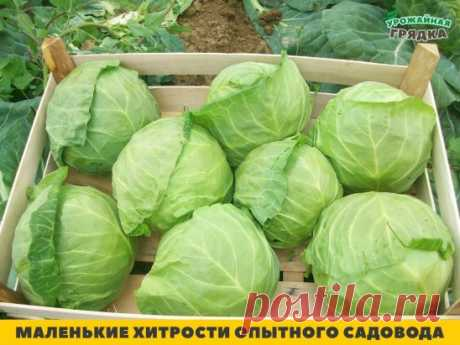 1. Iodine for cabbage\u000aTo add 40 drops of iodine to a bucket of water. When the head of cabbage begins to be formed, to water cabbage under a plant on 1 liter.\u000a2. Pro-growth acceleration\u000aThat seeds sprouted them presoak in hydrogen peroxide solution (4%) for 12 hours (cabbage) quicker, and seeds of tomatoes and beet - for 24 hours. For disinfecting of seeds (instead of potassium permanganate) they are processed by 10% peroxide of hydrogen of 20 minutes. Ratio of solution and seeds 1:1. Then seeds wash out and dry.\u000a3. Tea for...