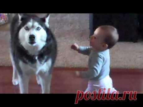 Мама застукала хаски и малыша за разговором. Ну просто уморительный диалог!