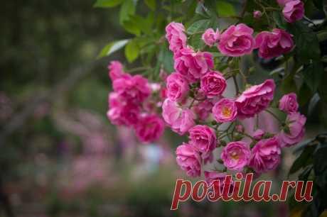Как обрезать розы осенью, чтобы в следующем сезоне кусты выглядели действительно «по-королевски»   На земле инфо   Яндекс Дзен