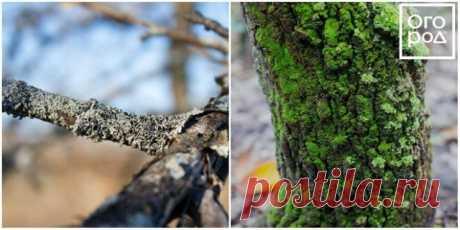 Как избавиться от мха и лишайников на плодовых деревьях | Уход за садом (Огород.ru)