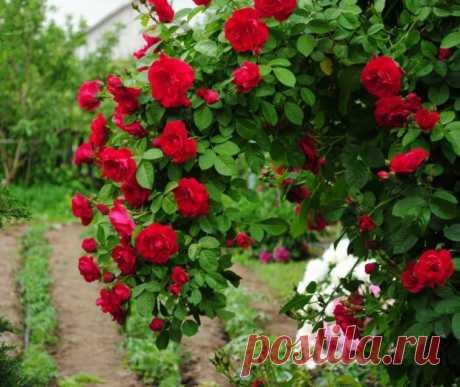 Что делать с розами в ноябре: уход, обрезка, укрытие / Антонов сад