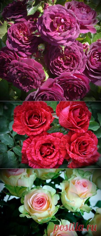 Морозоустойчивые Розы, которые можно посадить в своем саду.