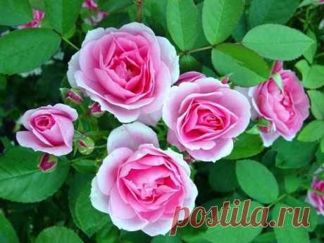 Эту розу не загубишь, не убьешь Цветоводы – особые люди. Они делятся на многочисленные группы по увлечениям: хостоманы, гейхероводы, коллекционеры редкостей, любители мелколуковичных или рододендронов и так далее. Иногда приоритеты …