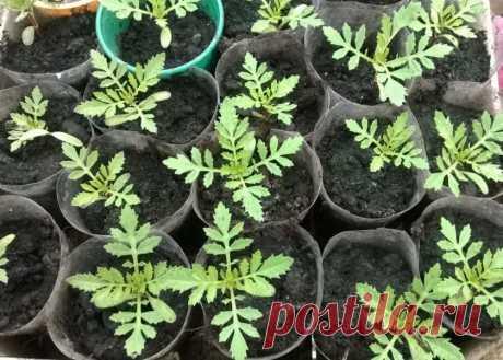 Выращивания рассады бархатцев без земли