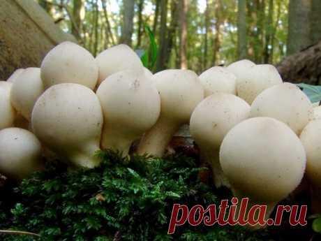 Гриб дождевик Среда обитания и подвиды дождевика. Заячья картошка в медицине: лечение простуды, обработка ран, питание кожи. Способы хранения гриба в домашних условиях и рецепты приготовления.