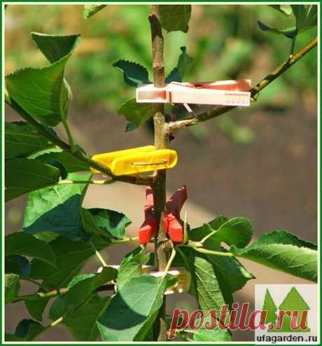 Формирование кроны яблони | Дачная жизнь - сад, огород, дача