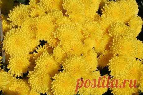 Практикуется несколько способов зимнего хранения кустов хризантем. У каждого из них есть свои достоинства и недостатки.