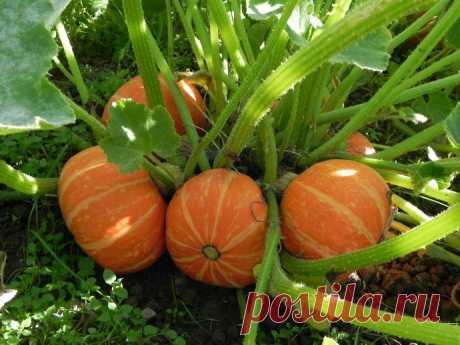 8 правил большого урожая тыквы.