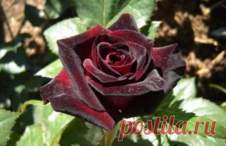Роза «Black Baccara»: описание, посадка и уход, фото Чайно-гибридная роза Блэк Баккара: описание, посадка и размножение, правила ухода, использование ее в ландшафтном дизайне.