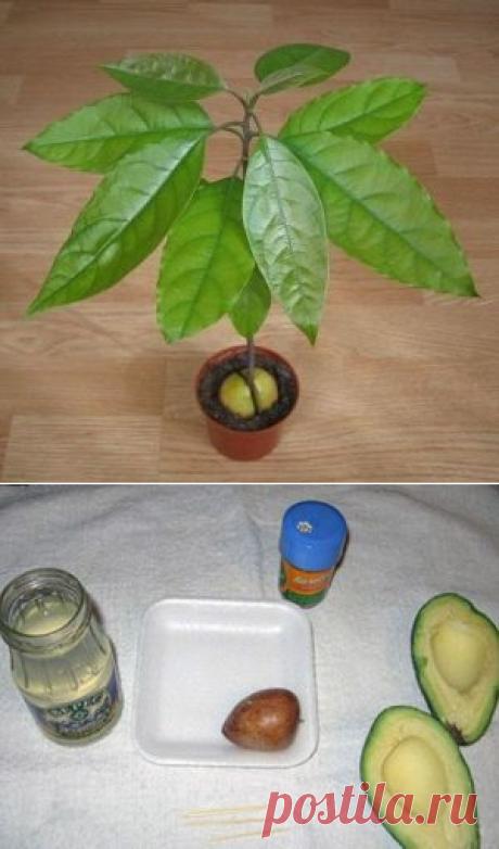 Como criar el aguacate del hueso en las condiciones de casa