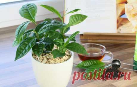 Чай больше не покупаю — растёт на подоконнике! Расскажу, как вырастить чайное дерево дома
