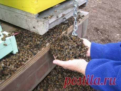 Пчеломор: в Канаде от ГМ-кукурузы одновременно погибло 37 миллионов пчёл – Новости РуАН