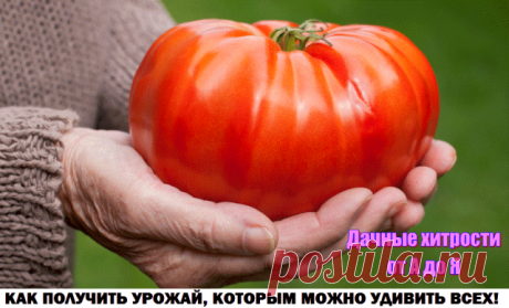 КАК ПОЛУЧИТЬ УРОЖАЙ, КОТОРЫМ МОЖНО УДИВИТЬ ВСЕХ.  Запомните одно - без внимания к помидорам урожая не будет! Вот несколько советов о том, как уделить должное внимание помидорам для поучения шикарного урожая:  Совет 1: полезное опрыскивание Чтобы повысить урожайность помидорных кустов, во время цветения второй и третьей цветочных кистей очень хорошо опрыскать растения слабым раствором борной кислоты. Бор «поможет» прорастанию пыльцы, завязыванию и росту плодов. Наряду с эти...