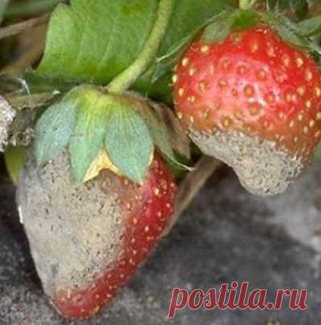 КАК УБЕРЕЧЬ ЯГОДЫ ЗЕМЛЯНИКИ ОТ СЕРОЙ ГНИЛИ?                                          Серая гниль особенно опасная во влажное лето.   Споры этого гриба живут в почву. Если изолировать ягоды от почвы, то это значительно снизит заболеваемость.    …