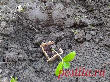 Если посадите в мае огурцы в этот день, будете с большим урожаем. С утра плачут, а после обеда на огороде работают   Жизнь по-деревенски   Яндекс Дзен