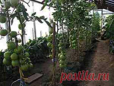 Выращивание томатов в ведрах и мешках.