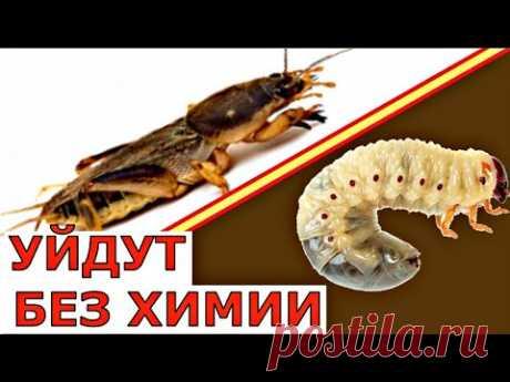 Как избавиться от МЕДВЕДКИ и ЛИЧИНОК МАЙСКОГО жука - YouTube