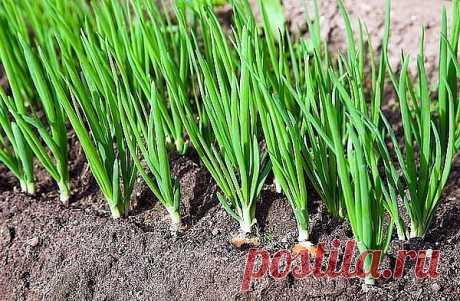 ЙОД, НАШАТЫРЬ, ЗЕЛЕНКА В ОГОРОДЕ  Йод в огороде Обычный пузырек йода способен оказать огороднику не одну большую услугу. Поскольку все мы с детства знаем, что йод — отличный антисептик, грех не применить это его свойство в профилактике болезней растений, в особенности всяческих гнилей. Раствором 5-10 капель йода в десяти литрах воды рекомендуют опрыскивать клубнику и землянику перед цветением. Эта простая процедура избавит ее от серой гнили и активизирует жизненные силы. О...