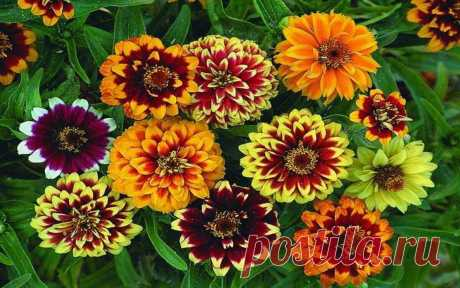 Как посадить циннии, чтобы добиться пышного цветения. | Дачные советы | Яндекс Дзен