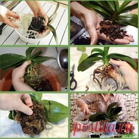 Пересаживаем орхидею, семь шагов