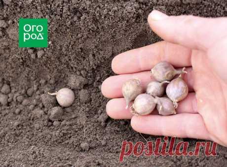 7 способов посадки озимого чеснока | Капуста, лук, чеснок (Огород.ru)