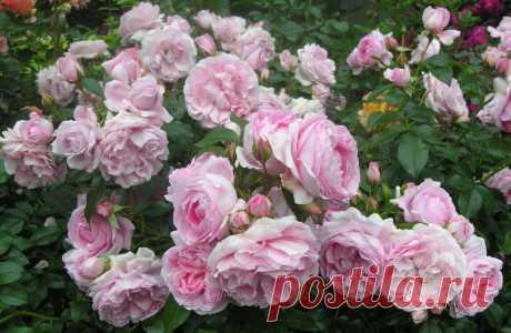 Какие сорта роз лучше всего сажать на наших огородах | Огород без хлопот