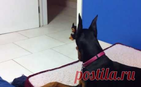When this huge Dobermann terrier saw a toy, all got from laughter ~