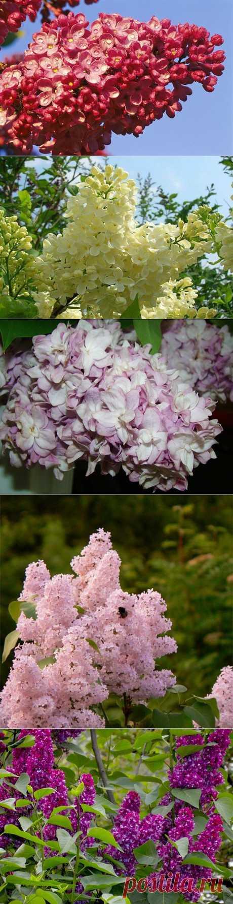 Сирень. Посадка,уход,размножение и сорта. Насчитывается около 30 видов этого цветущего кустарника, который относится к семейству маслиновых. Название сирени происходит из греческого языка от слова «трубка». Возможно, это обусловлено формой цветка сирени. У куста сирени много стволов, высотой куст бывает до 8 м, при красивой обрезке может иметь вид декоративного дерева с густой кроной и ароматными, густыми соцветиями.