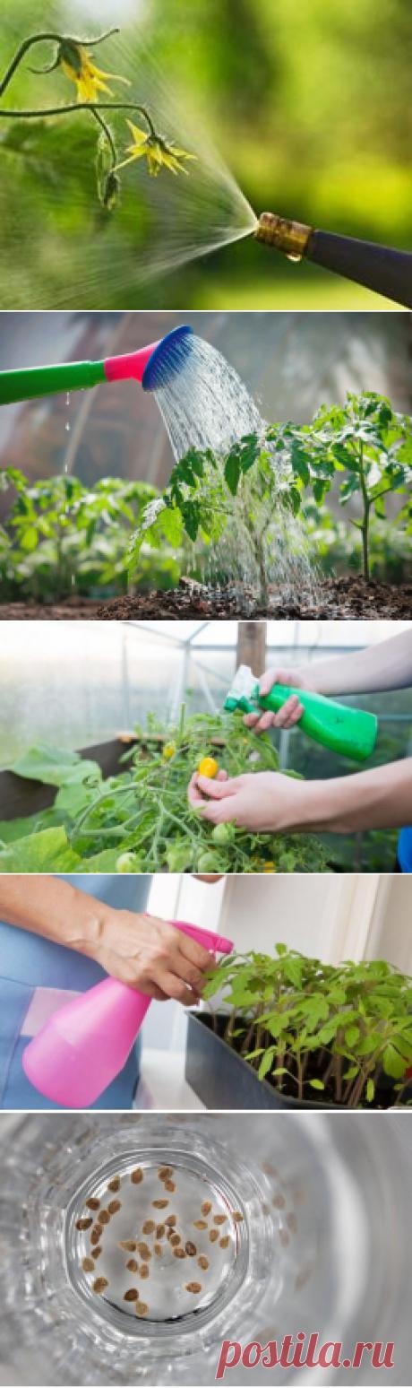 Как аптечное копеечное средство может помочь томатам