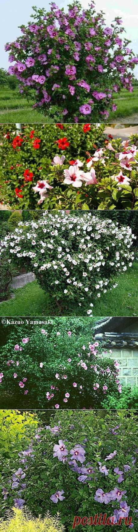 Гибискус садовый или сирийская роза .
