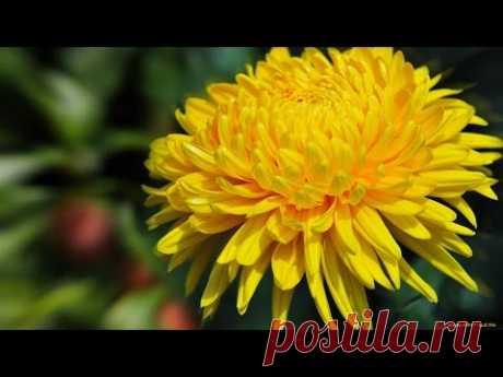 Плетение Хризантемы из Бисера
