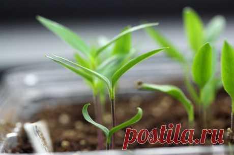 Расчет сроков посева семян овощных культур на рассаду