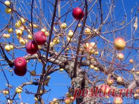 As it is correct to impart an apple-tree in the fall