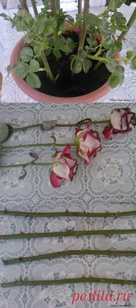 """Палю тему! """"Тройчатка"""" для проращивания роз"""