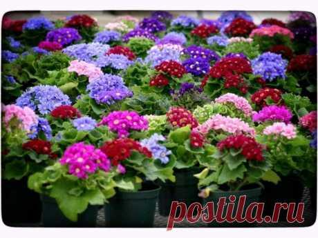 Рассада цветов в феврале и начале марта что сажать Многие дачницы выращивают цветочную рассаду в квартирах и домах, предпочитая не покупать ее на рынке и в цветочном магазине. Это удобно, приятно и выгодно. Рассадой выращиваются многие цветочные культ...